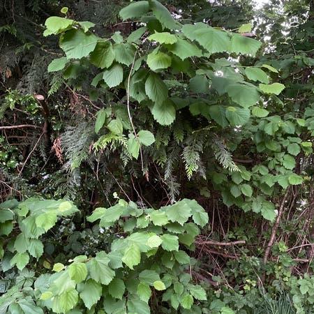 Photo of the plant species Beaked Hazelnut by Sushirocks named Beaky on Greg, the plant care app