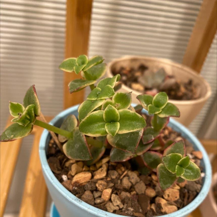 Crassula pellucida plant in Medford, Massachusetts