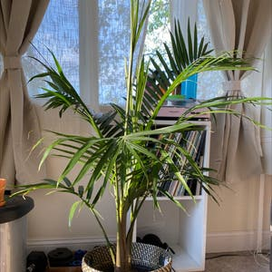 Rating of the plant Majesty Palm named Majesty Palm by Bdvbe on Greg, the plant care app