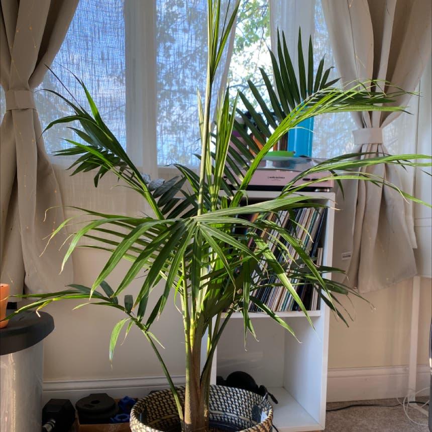 Majesty Palm plant in Medford, Massachusetts