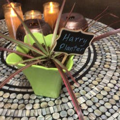 Dracaena 'Tarzan' plant