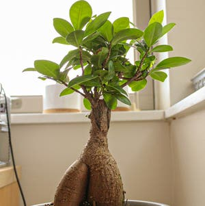 Ficus Ginseng plant photo by Chew_becca named Tree Diddy on Greg, the plant care app.