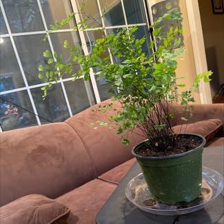 Maidenhair fern plant in Greensboro, North Carolina