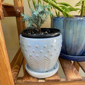 American juniper plant in Greensboro, North Carolina