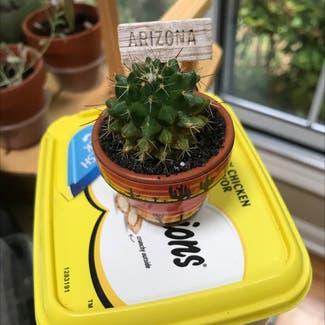 Mexican Pincushion plant in Greensboro, North Carolina