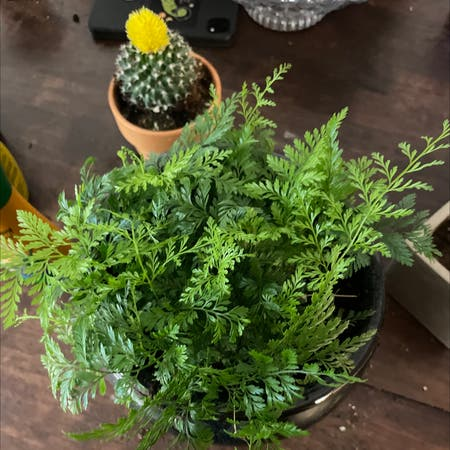 Photo of the plant species Parsley fern by Amygracelorraine named huckeuberry fern on Greg, the plant care app