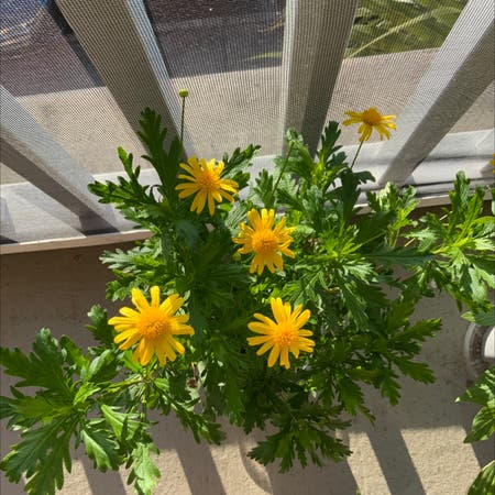 Photo of the plant species African bush daisy by Yanexi and gabriell named Daisy on Greg, the plant care app