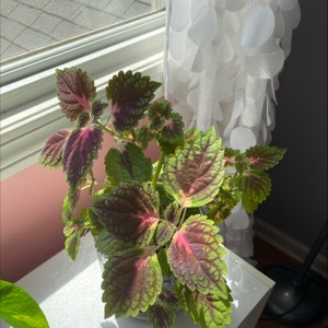 Rating of the plant Coleus named Lola by Emilyen on Greg, the plant care app