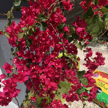 Photo of the plant species Bougainvillea by Tricia named Bouganveilla on Greg, the plant care app