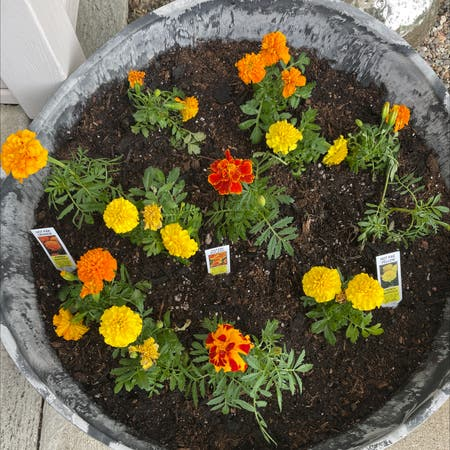 Photo of the plant species American Marigold by Izzybelle named Marigold Bitches on Greg, the plant care app