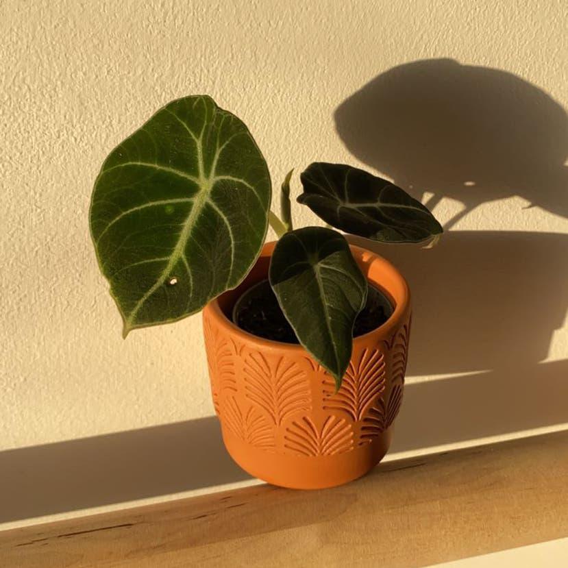 Black Velvet Alocasia plant in Somewhere on Earth