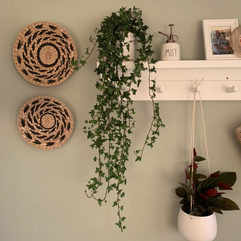 English Ivy plant in Somewhere on Earth