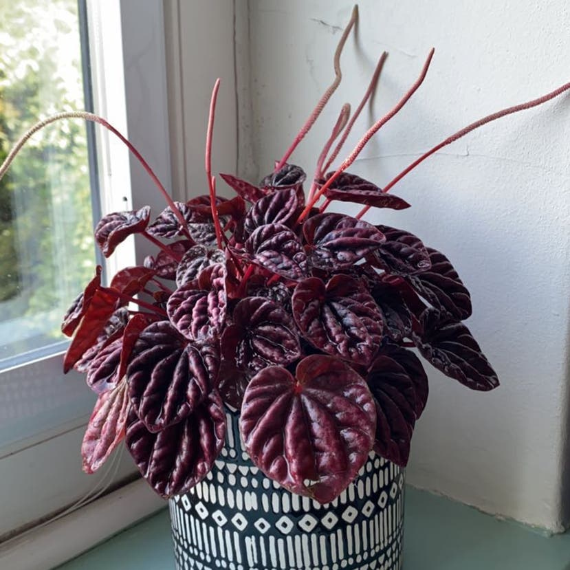 Schumi Red Peperomia plant in Somewhere on Earth