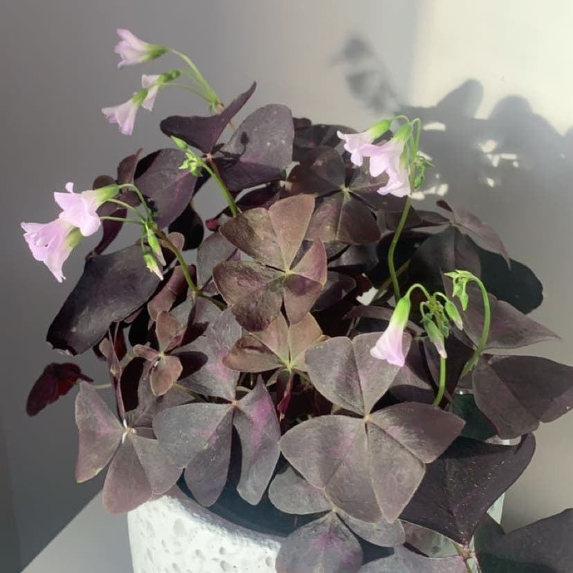 Purple Shamrocks plant in Somewhere on Earth