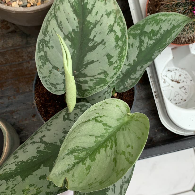Silver Satin Pothos plant in Somewhere on Earth