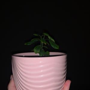 Meyer Lemon Tree plant photo by Sicky_viki111 named Lenny on Greg, the plant care app.