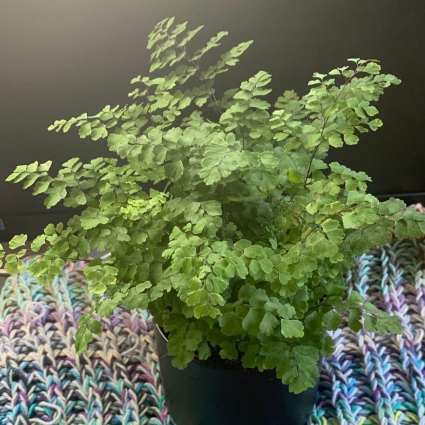 Maidenhair fern plant