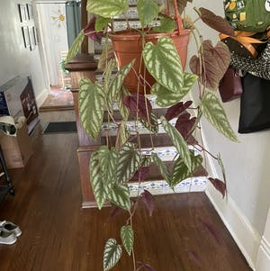 Rex Begonia Vine plant photo by Egotopia named Cissus discolor on Greg, the plant care app.