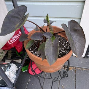 Taro plant photo by Egotopia named Colocasia Esculenta 'Black Magic' on Greg, the plant care app.