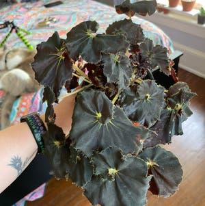 Begonia 'Black Mamba' plant photo by Egotopia named Black Mamba on Greg, the plant care app.