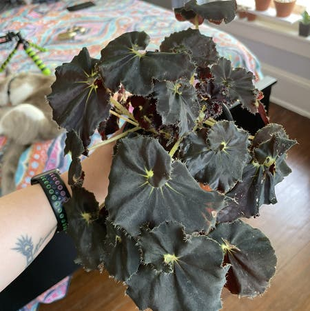 Photo of the plant species Begonia 'Black Mamba' by Egotopia named Black Mamba on Greg, the plant care app