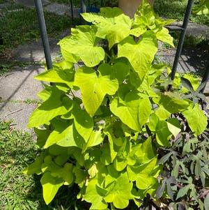 Sweet Potato Vine plant photo by Egotopia named Ipomoea batatas on Greg, the plant care app.