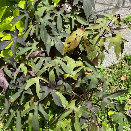 Photo of the plant species Black Sweet Potato Vine by Egotopia named Black sweet potato vine on Greg, the plant care app