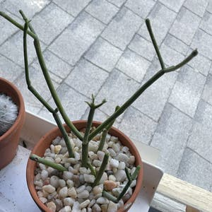 """Pencil Cactus plant photo by Egotopia named Euphorbia tirucalli """"Pencil Dick"""" on Greg, the plant care app."""