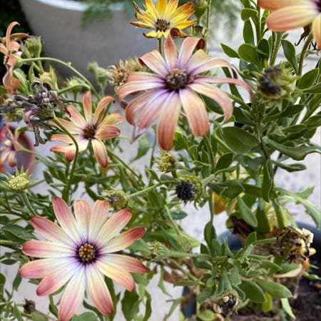 Photo of the plant species Osteospermum 'Margarita Bronze Bicolor' by Laurenaaamy named Kesha on Greg, the plant care app