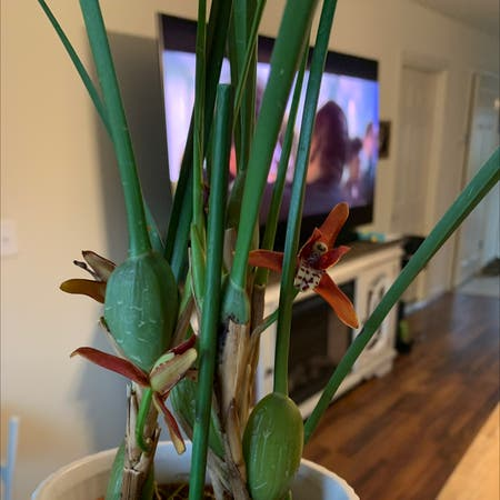 Photo of the plant species Coconut Orchid by Mrs.roberson named Coconut orchid on Greg, the plant care app