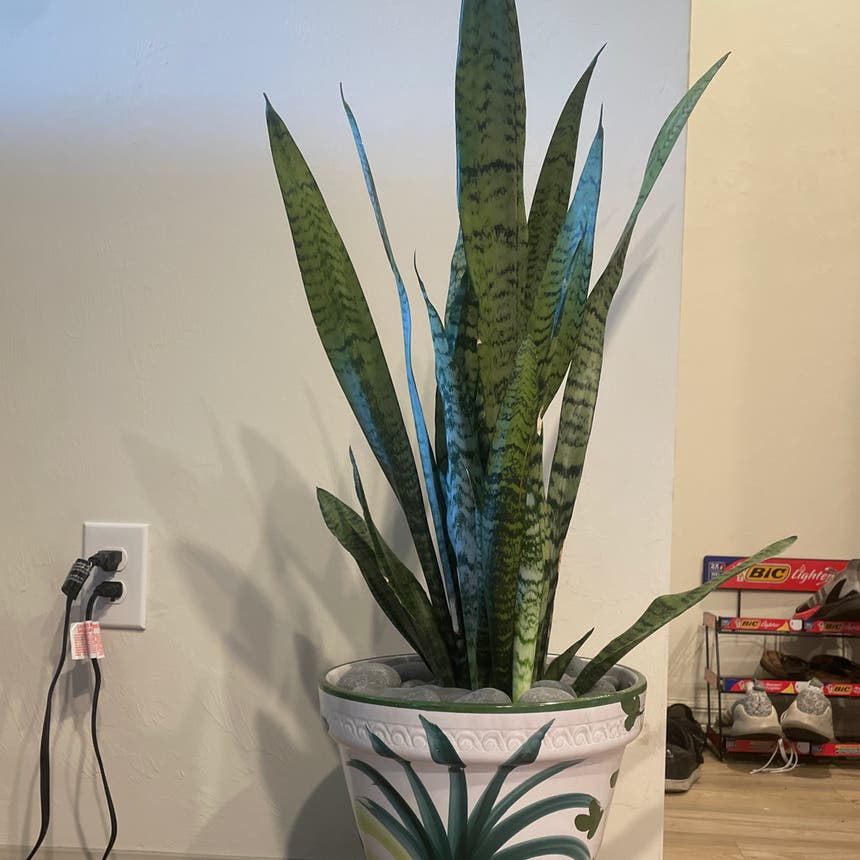 Snake Plant plant in Fort Myers, Florida