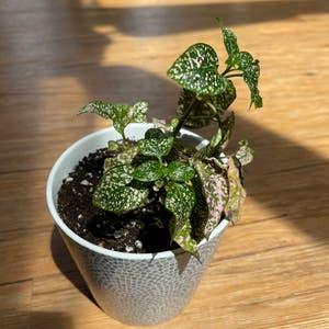 Rating of the plant Polka Dot Plant named Nymphadora by Sarahnotsara on Greg, the plant care app