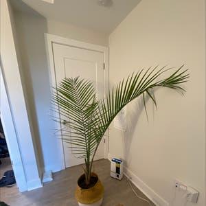 Majesty Palm plant photo by Modernjam named Palm on Greg, the plant care app.