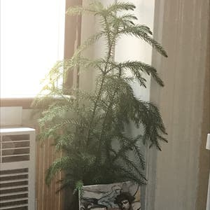 Norfolk Island Pine plant photo by Thelonia named Noël on Greg, the plant care app.