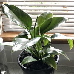 Philodendron 'Congo' plant
