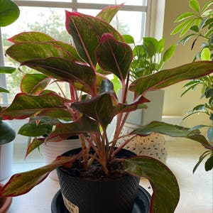 Rating of the plant Chinese Evergreen named little lady by Lydia on Greg, the plant care app