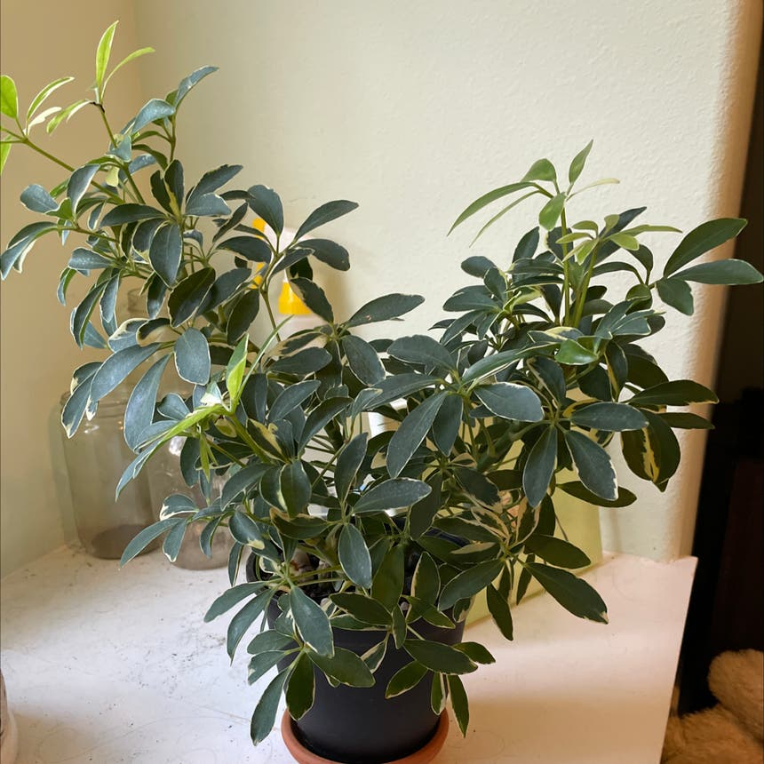 Dwarf Umbrella Tree plant in Somewhere on Earth