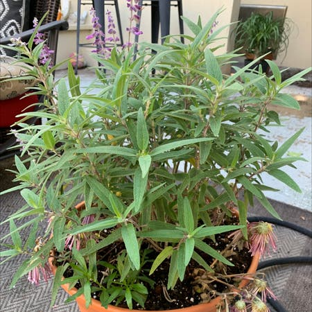 Photo of the plant species Mexican bush sage by Cheryl named Mexican sage on Greg, the plant care app