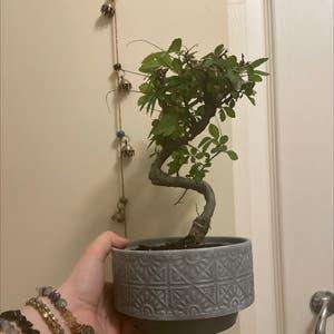 Chinese Elm plant photo by Ellie.caldecott named bill bonsai on Greg, the plant care app.