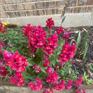 Common snapdragon plant photo by Natalieellen33 named Shakira on Greg, the plant care app.