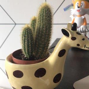Blue Columnar Cactus plant photo by Charlemont named Kallikrates on Greg, the plant care app.