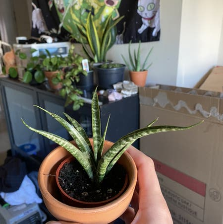 Photo of the plant species Mikado Snake Plant by Brtabo named Snake Plant 2.0 on Greg, the plant care app