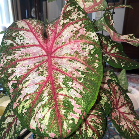 Photo of the plant species Fiesta Caladium by Emmabell840 named Tbd on Greg, the plant care app