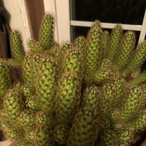 Lady Finger Cactus plant photo by Brenda named Your plant on Greg, the plant care app.