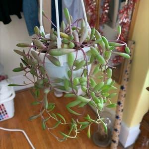 String of Pickles plant photo by Torisplants named Lisa on Greg, the plant care app.