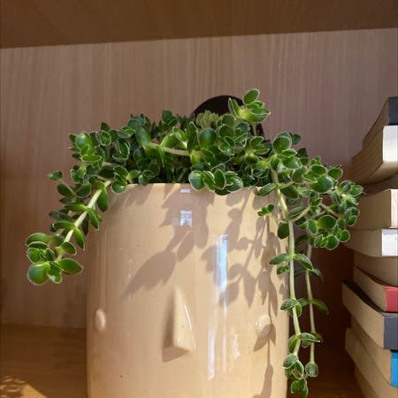 Photo of the plant species Crassula David by Maddison named David on Greg, the plant care app