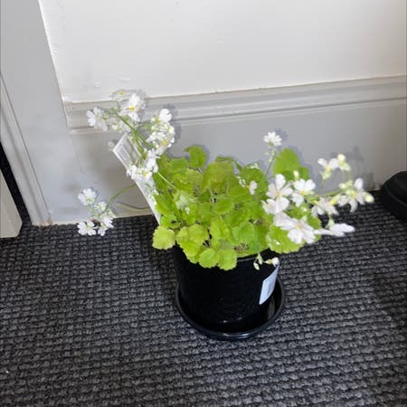 Photo of the plant species primula white by Bianca named prim on Greg, the plant care app