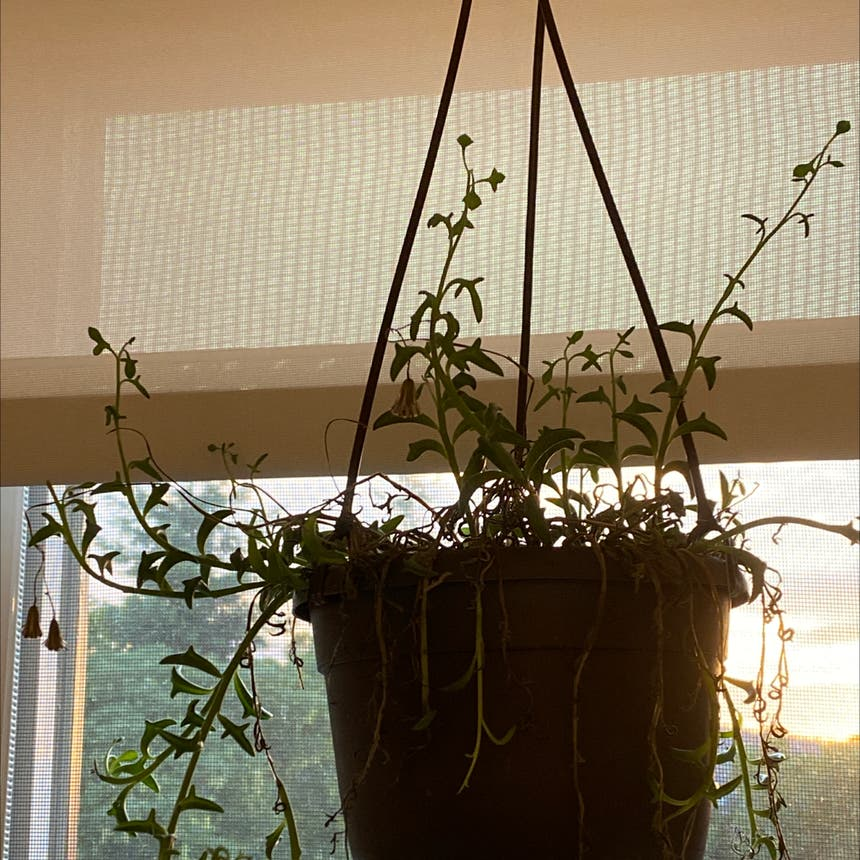 String of Dolphins plant in Somewhere on Earth