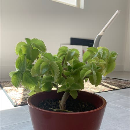 Photo of the plant species Ajwain by Shreehitha named Bb on Greg, the plant care app