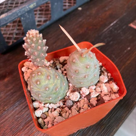Photo of the plant species Tephrocactus geometricus by Rogueninja named Roundy round on Greg, the plant care app